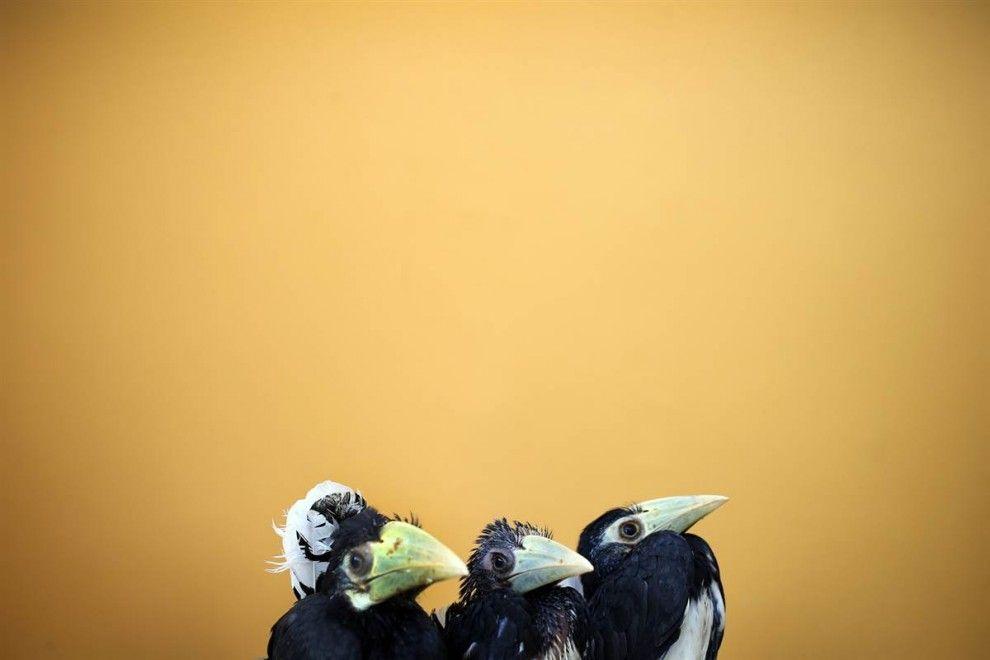 Hornbill chicks