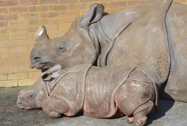 Indian rhinoceros cub sleeps next to his mother in the zoo north of London