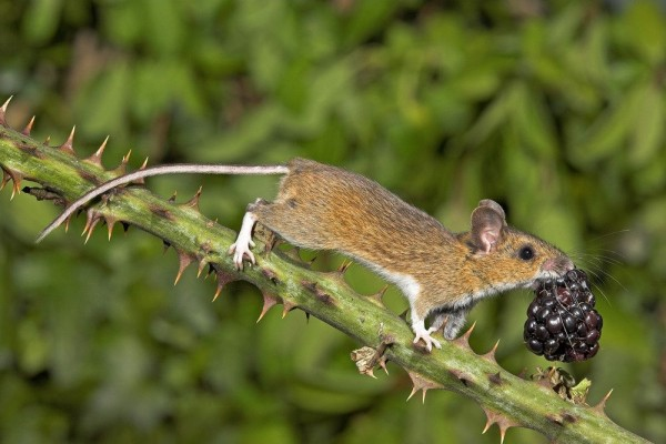 Mouse and Berries by Gary Cox