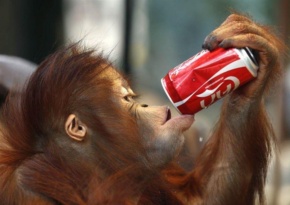 Orangutan drinks water from a tin can