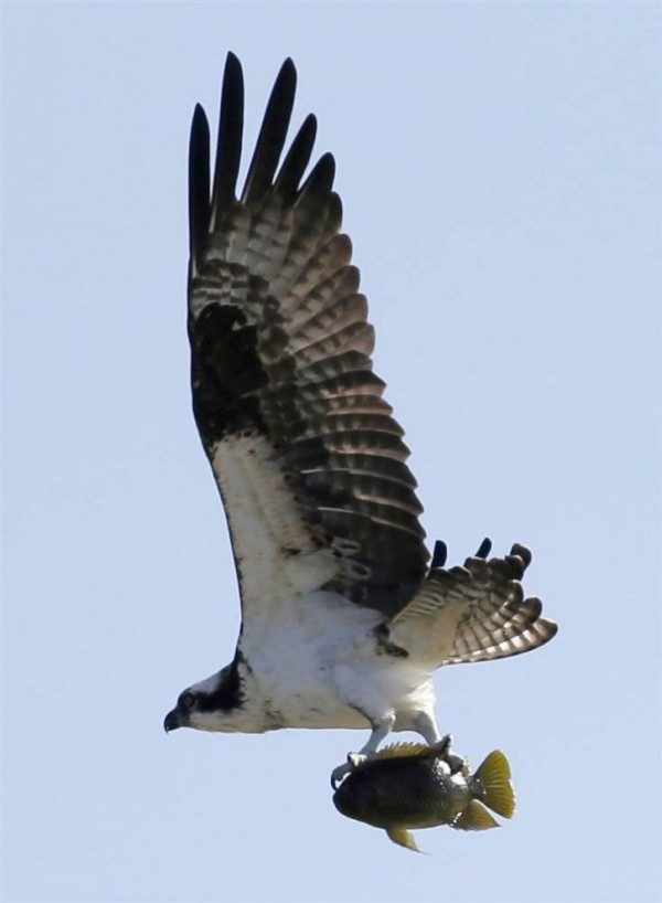 Osprey takes to catch fish in Dorale