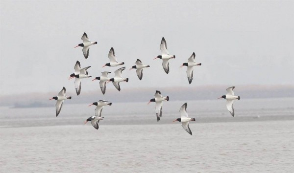 Oystercatcher flying over an island in the Yellow Sea