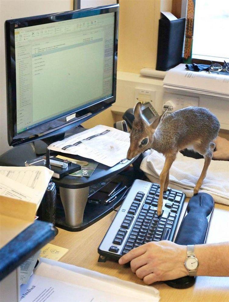 Small antelope (dik-dik)