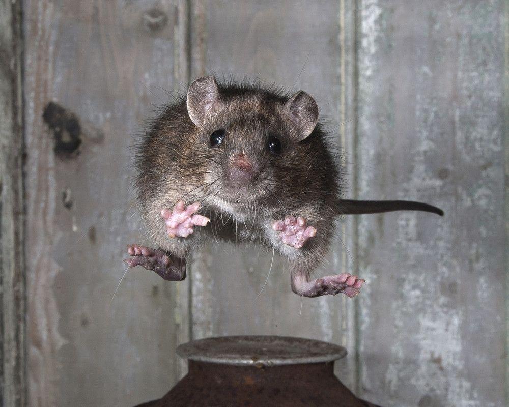 Soaring rat by Roy Rimmer