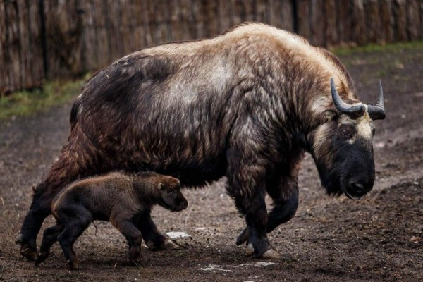 Takin and her baby roam their enclosure