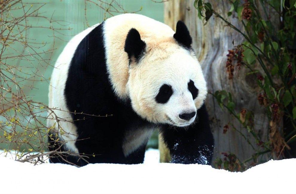 The female giant panda walks in his enclosure