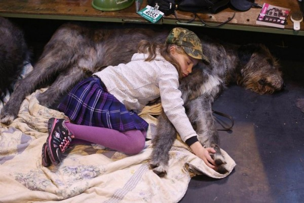 The nine-year girl sleeping next to her Irish wolfhound