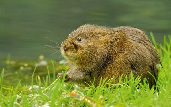 The water vole by Berryman Alex