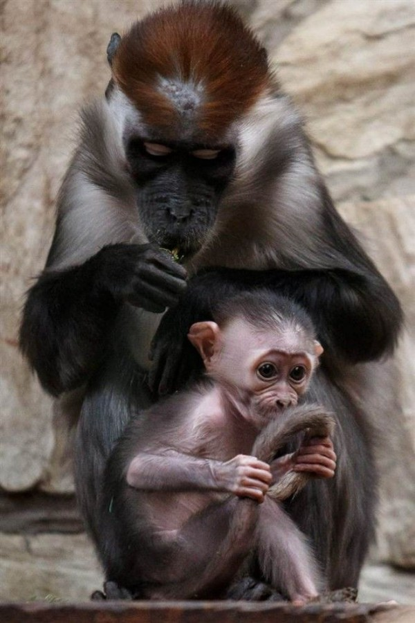 White-collar Cub mangabey playing near her mother