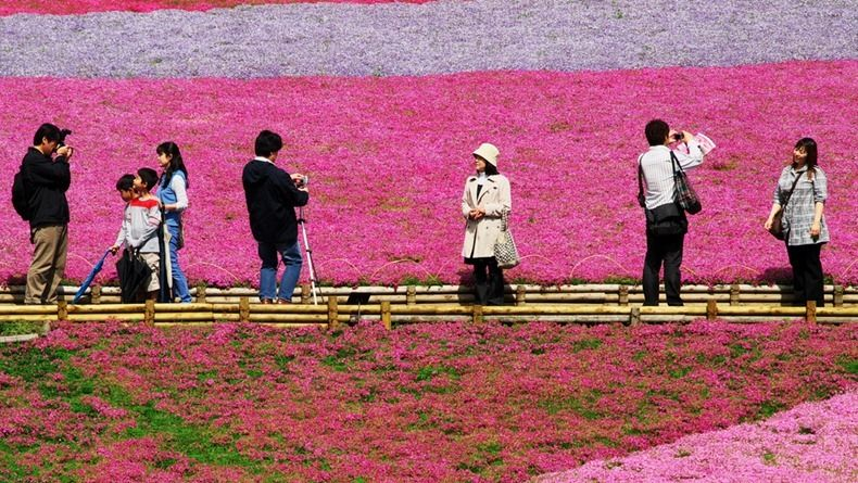 Shibazakura (Moss Pink) Hill