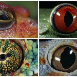 The Stunning Eyes of Amphibians by Daniel Heuclin