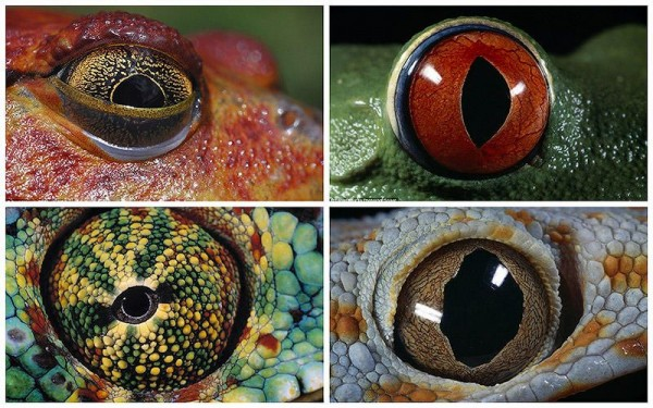 The Eyes of Amphibians