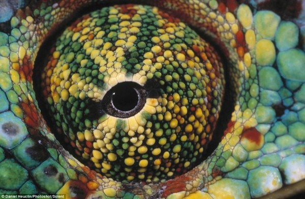 The photograph captures the eye of Madagascar chameleon