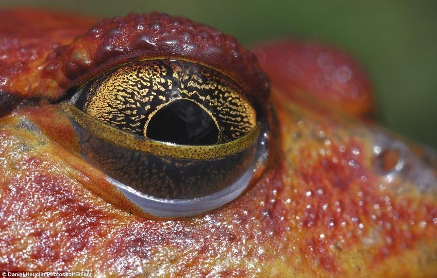 Piercing eyes red frogs inhabiting Madagascar lakes