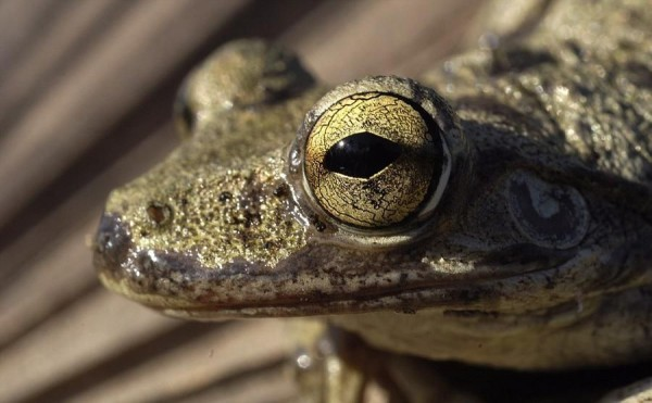 Laid-back look of wood frogs. The picture was taken during a trip to Cuba