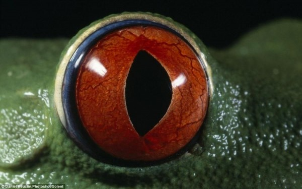 "This is the ""all-seeing eye"" red-eyed tree frog seems ready to look into the soul"