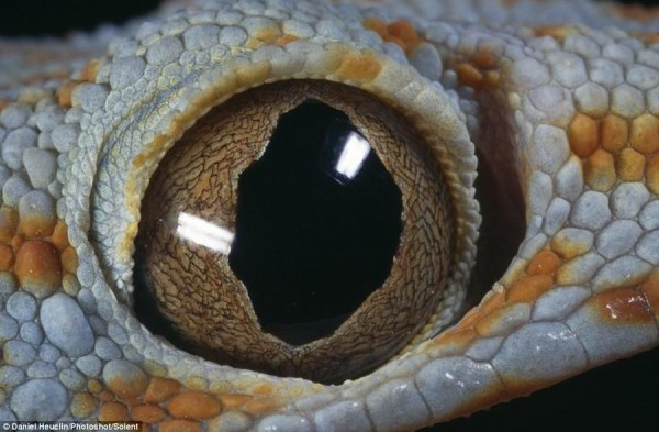 The centuries-old wisdom hidden in the eyes of Filipino gecko - Tokay