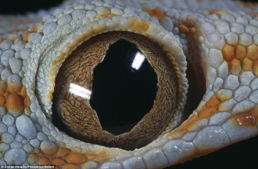 The centuries-old wisdom hidden in the eyes of Filipino gecko - Tokay