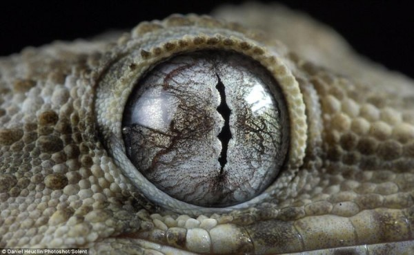 "Gecko Cape Verde, the mysterious owner of the most ""alien"" eyes"