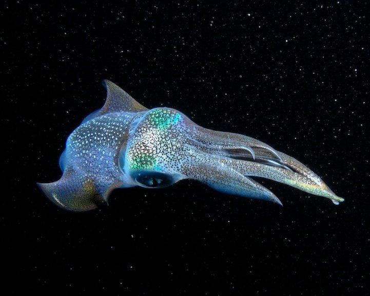 Galactic squid