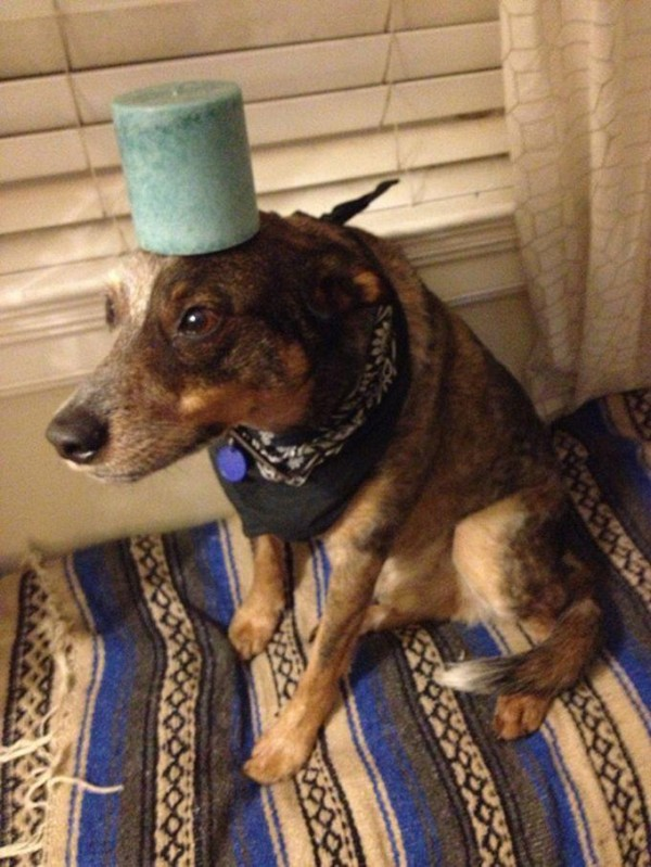 Household Object on the Head of Jack Dog