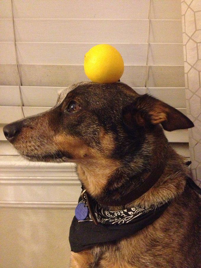 Lemon on the Head of Jack Dog