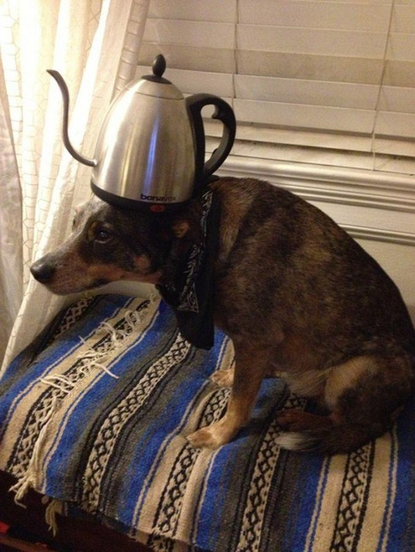 Tea Cattle on the head of Dog