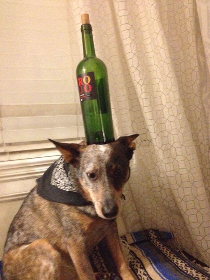 Wine Bottle on the Head of Jack Dog