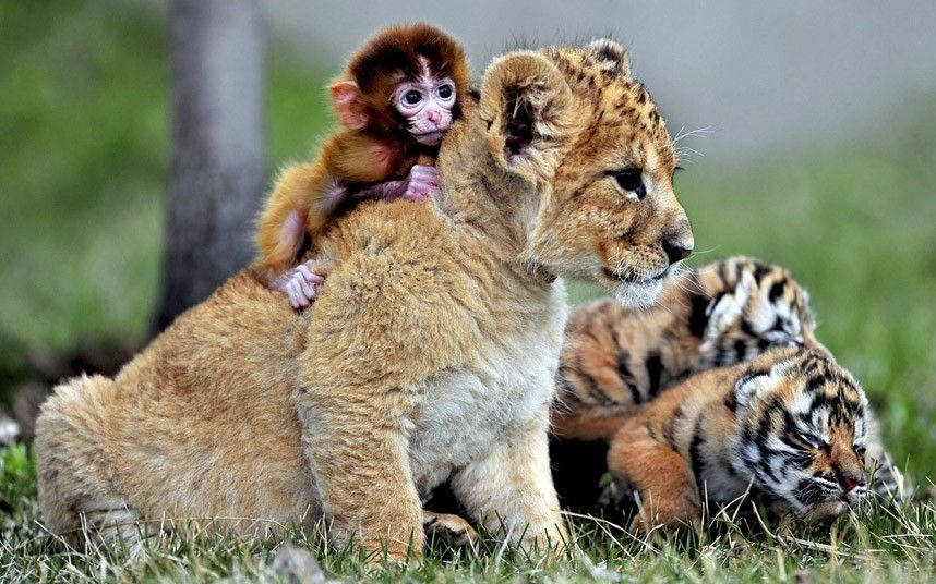 Baby monkey, lion and tiger cubs play in the Park Manchurian tigers Guaipo in Shenyang