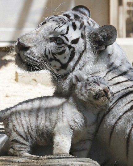 Japan White Tiger Cubs