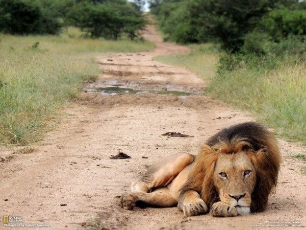 Old lion, South Africa. (Kathryn Sweeney)