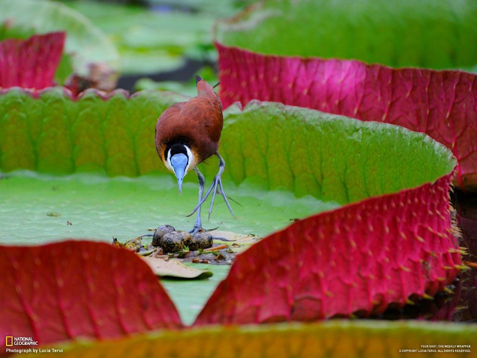 African jacana in its nest with eggs. (Lucia Terui)