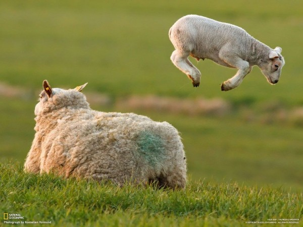 The lambs play in the pasture. (Roeselien Raimond)
