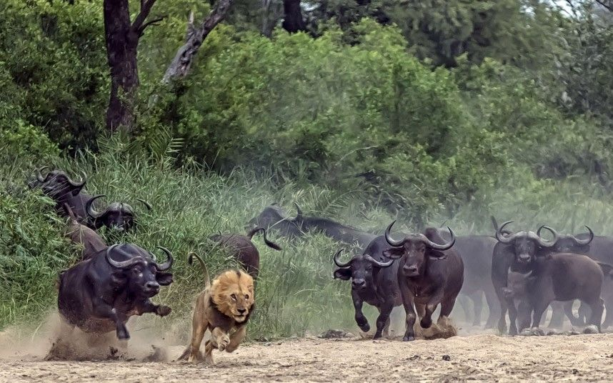 African buffalo in the Kruger National Park