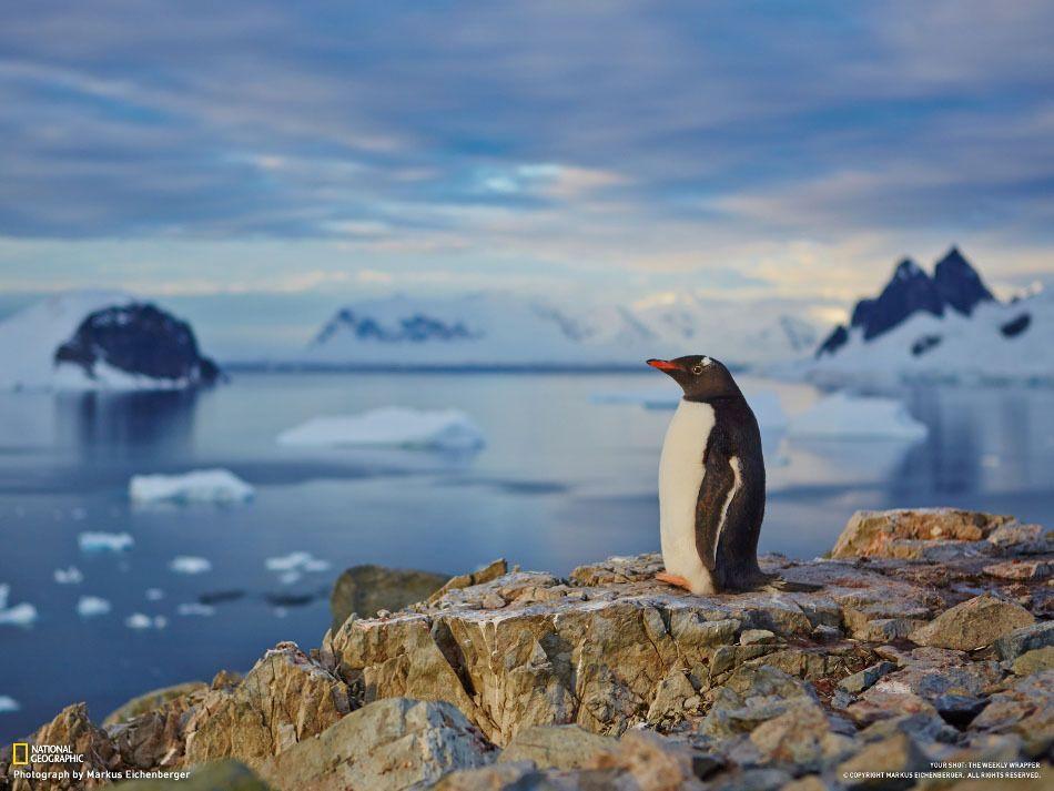 Penguin admiring the sunset. (Markus Eichenberger)