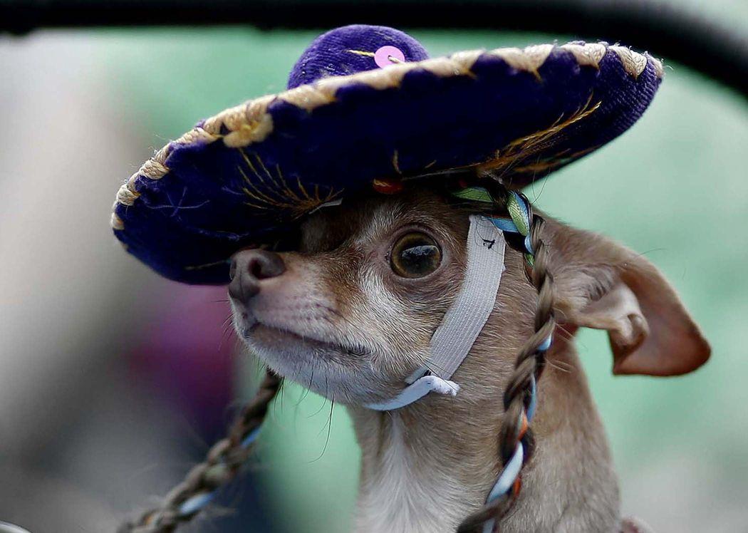 Chihuahua in a sombrero on parade in San Antonio, USA