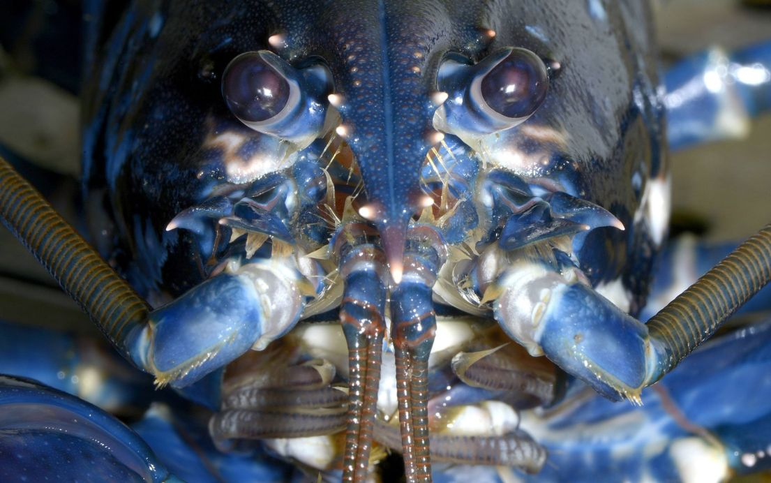 European lobster poses for the camera