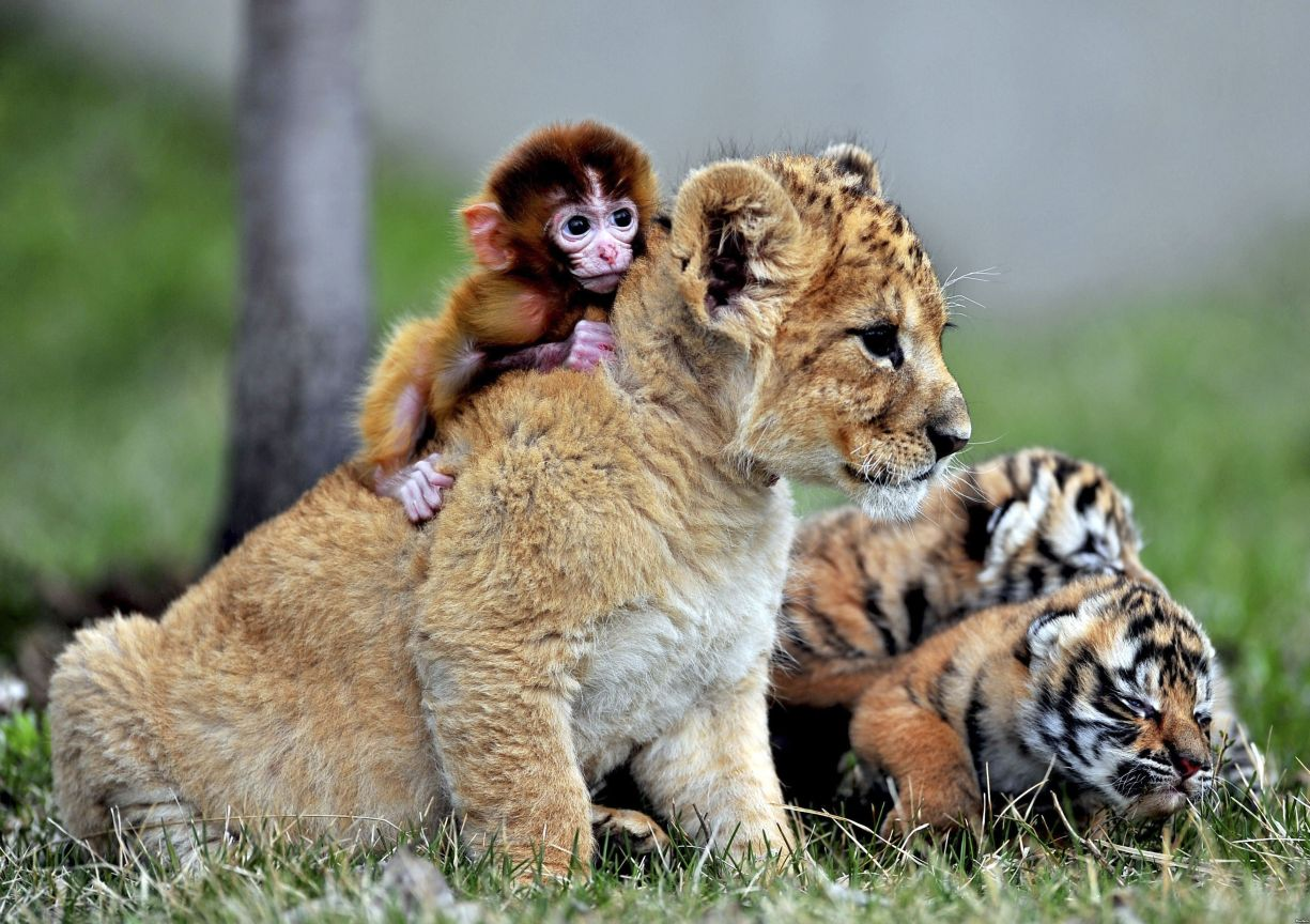 Kids monkeys, Manchurian tiger and a lion in the zoo