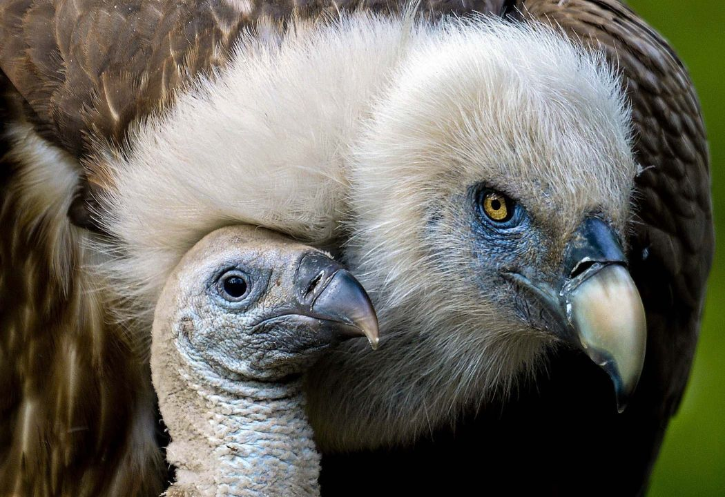 One-month Vulture under the wing of my mother at the zoo in Duisburg, Germany