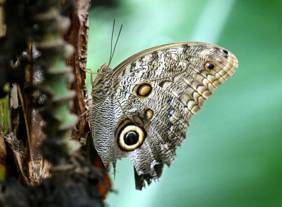 Owl butterfly on a banana palm in Krefeld, Germany