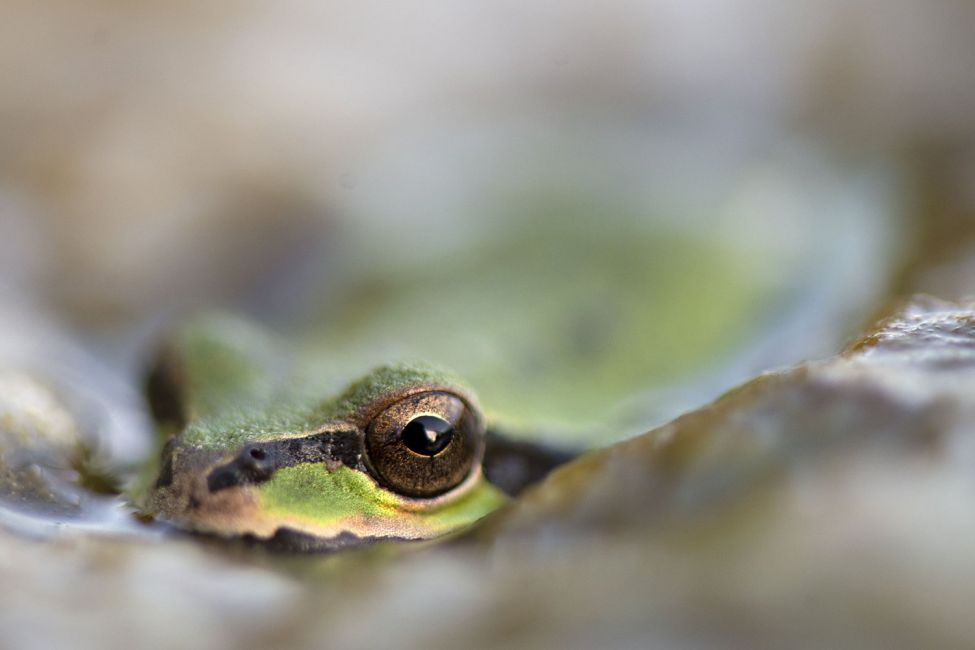 Pacific frog floating in a pond at a ranch near Elkton, Oregon, USA