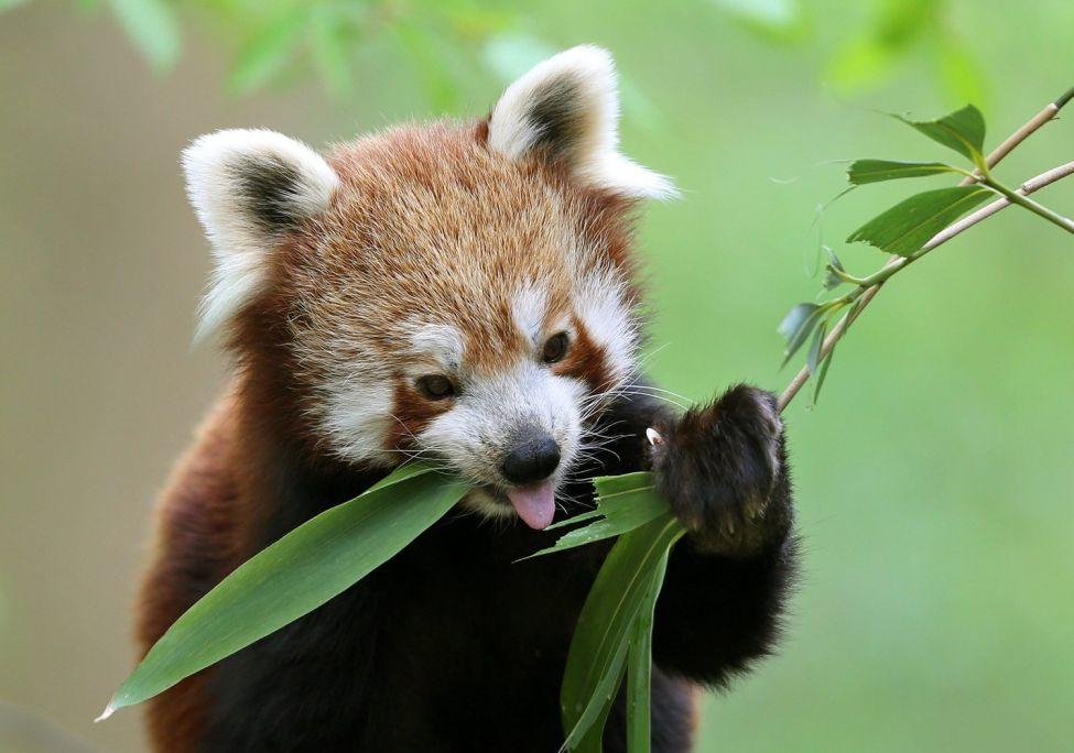 Red panda bamboo breakfast in Krefeld, Germany