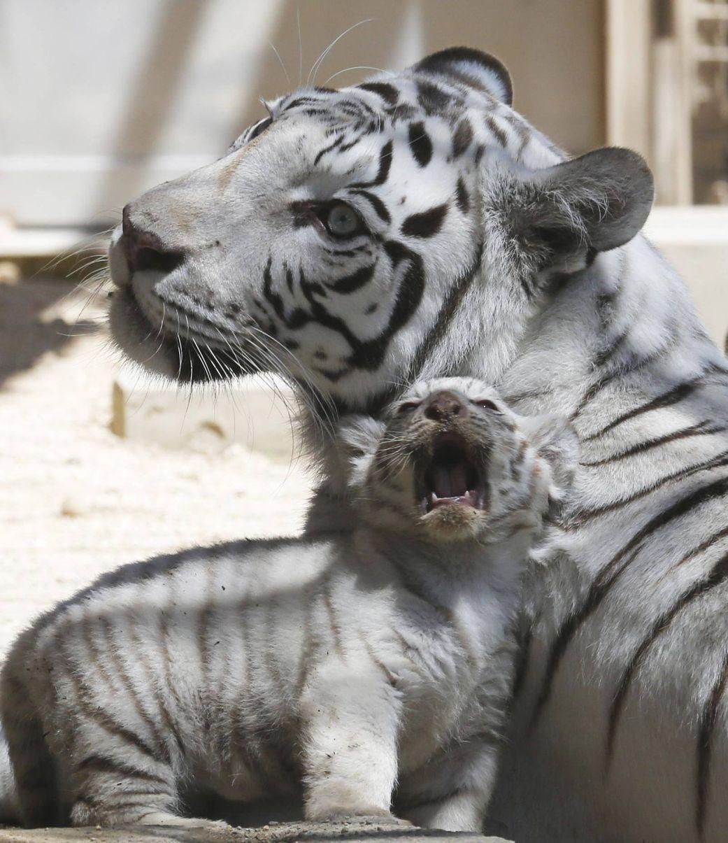 Seven year old white tigress