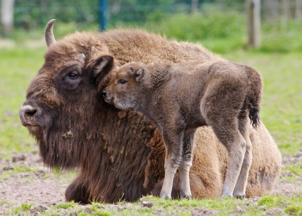 Small bison and his mother Donna