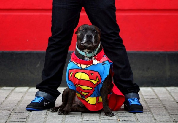 Staffordshire bull terrier dressed as Superman Tai