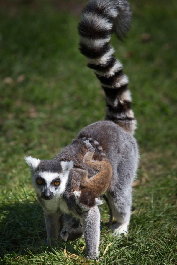 Young cat lemurs frolic with his mother at the zoo in Wroclaw, Poland