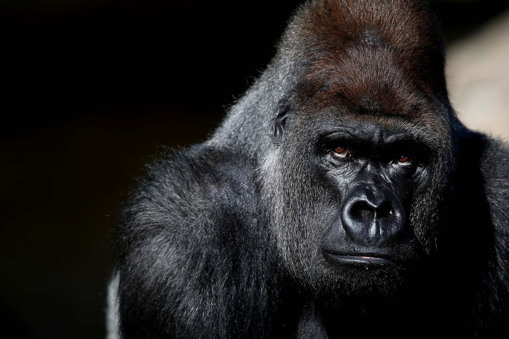 Cumbuco Gorilla
