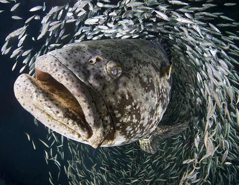 11. Goliath grouper by Laura Rock
