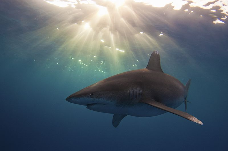 13. Oceanic white tip shark by Austin Gallagher