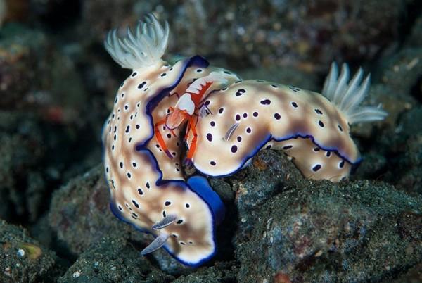 3. An emperor shrimp by Douglas Good